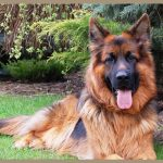 pastere-tedesco-german-sheperd-dog