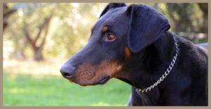 Rubrica razze canine: vi presentiamo Il Dobermann.