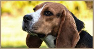 Rubrica razze canine: vi presentiamo il Beagle