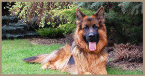 Rubrica razze canine: vi presentiamo il Pastore Tedesco!